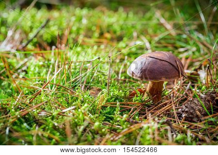 Little boletus on moss in forest at autumn