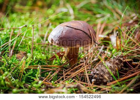 Closeup of little boletus in forest at autumn