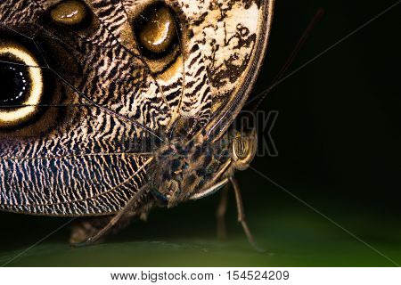 Giant owl butterfly (Caligo memnon) head and thorax. Enormous Central and Southern American butterfly in the family Nymphalidae close up of compound eye and body
