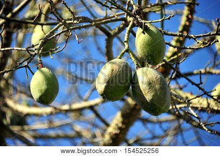 This is a photo of green fruit.