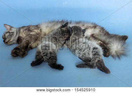 Mother cat feeding her little kittens.Cat breastfeeds kittens