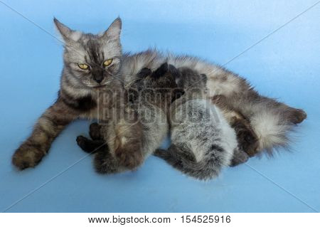 Mother cat feeding her little kittens.Cat breastfeeds kittens