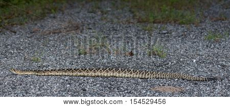 Rattlesnake Stretched Out on Road with green brush
