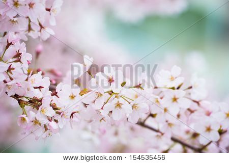 Beautifully spring cherry blossom with softy blue boke background. Shallow depth of field for dreamy feel.