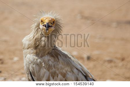 Egyptian Vulture In Socotra