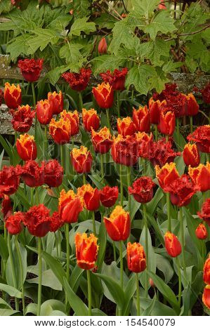 Red Fringed Tulips and Red Tulips with Yellow Fringe Combined in a Flower Bed and Surrounded by Foliage
