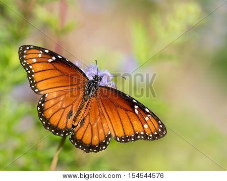 The Soldier or Tropical Queen butterfly (Danaus eresimus) feeding on Greggs Mistflowers (Conoclinium greggii) in the autumn garden