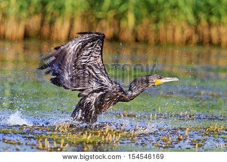 Great cormorant off from water, bird disappears, rare bird, beautiful bird