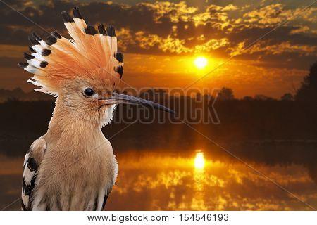 hoopoe on a background of lake at sunrise, bird disappears, rare bird, beautiful bird