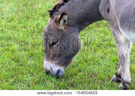 Donkey grazing on green grass in farmland closeup portrait