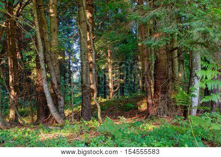 View of Spruce forest in Kočevski Rog called also Kočevje Rog Slovenia