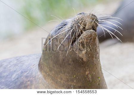 Sea Lion Closeup, Eating Fish