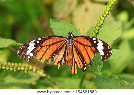 Monarch Butterfly (danaus Plexippus) On A Flower In The Daytime.