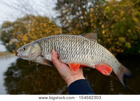 Great chub in fisherman's hand, autumn river