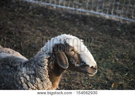 Sheep. Sheep in nature. Sheep on meadow. Sheep farming. Sheep farming outdoor.