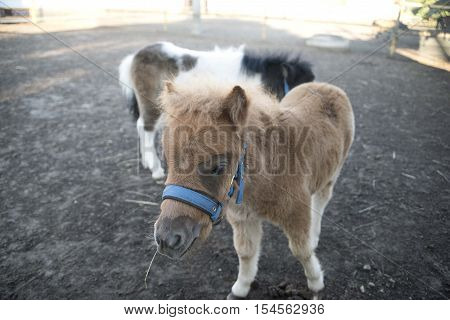 Mini dwarf horse in a pasture at a farm. foal mini horse.