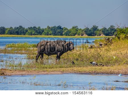 Watering large animals in the Okavango Delta. Buffalo - single. Chobe National Park in Botswana. The concept of extreme tourism