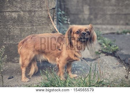 Vintage photo of chained pekingese dog. Outdoor photo