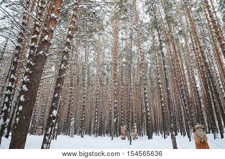 Straight trunks of pines in snowy winter forest. Siberia