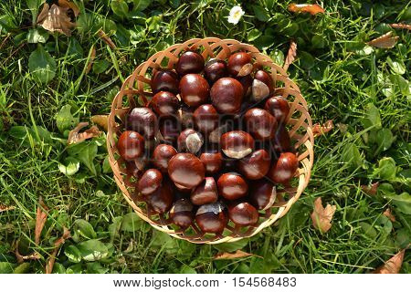 fresh brown horse-chesnuts in basket on autumn grass