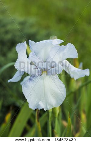 Iris flower with ligth blue petals, violet in spring garden