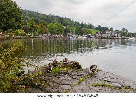 Ducks Sitting on Rocks in Ambleside on Lake Windermere Cumbria UK