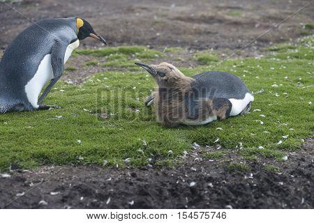 Adult and chick King Penguins at Volunteer Point, Falkland Islands. December 28, 2012 - Falkland Islands
