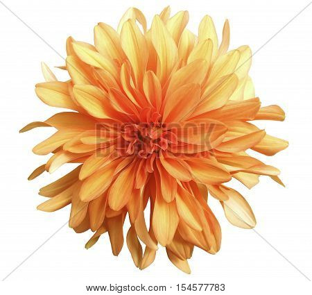 yellow-red flower on a white background isolated with clipping path. Closeup. big shaggy flower. Dahlia.