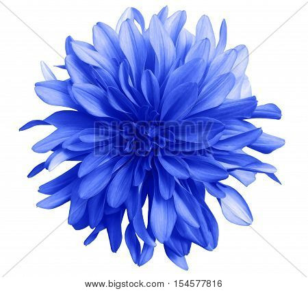 blue flower on a white background isolated with clipping path. Closeup. big shaggy flower. Dahlia.