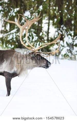 Reindeer in its natural environment in scandinavia. Northern polar circle. Lapland.