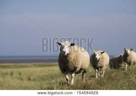 Sheep walking on dike on Mando island in Danish Wadden Sea. Danish national park under UNESCO World Heritage.