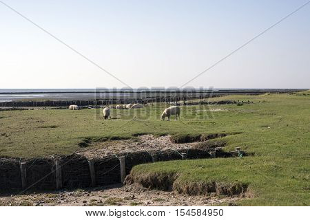Sheep graze in front of the dike on Mando close to the Danish Wadden Sea. Danish national park under UNESCO World Heritage.