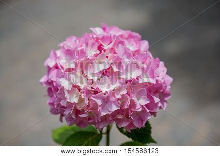 Beautiful hydrangea flowers in a nature background
