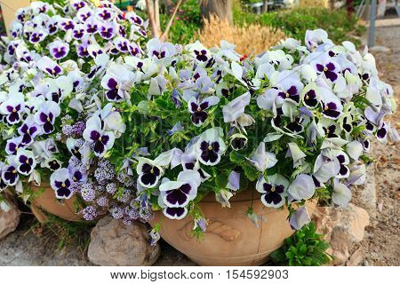 White Pansy Flower.