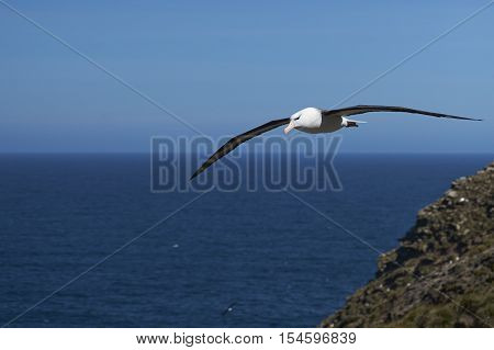 Black-browed Albatross (Thalassarche melanophrys) in flight along the cliffs of West Point Island in the Falkland Islands.