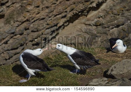 Pair of Black-browed Albatross (Thalassarche melanophrys) courting on the cliffs of West Point Island in the Falkland Islands.