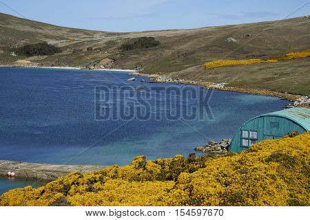 Colourfully painted building amongst flowering gorse bushes at the West Point Settlement on West Point Island in the Falkland Islands