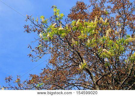 Natural anomaly. Chestnut white blossom on autumn