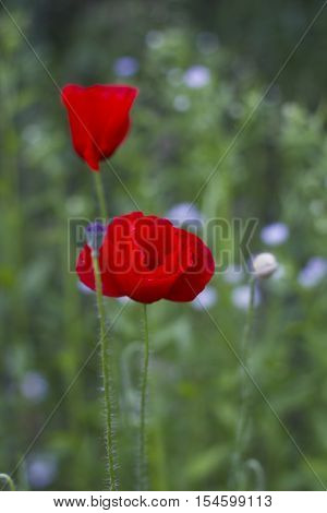 Red poppy flowers with bud in field on green blurred background