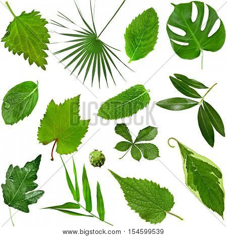 Collection of various  fresh green leaves: leafs of herb and grass, leaf of tree and bush, close up shot. Top view. Natural green leafs set isolated on white background.