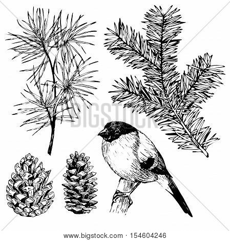 VEctor hand drawn fir pine branches pinecone and bullfinch. Vintage engraved botanical illustration. Christmas decoration. Monocrome illustration. Use for Xmas holiday decorating.