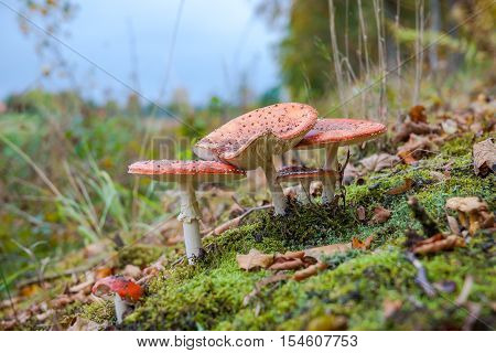 Amanita muscaria (fly agaric fly amanita toadstool) in autumn forest