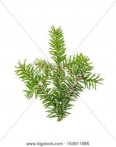 Pine sprig. Branches of christmas tree isolated on white background. Fresh green fir branches