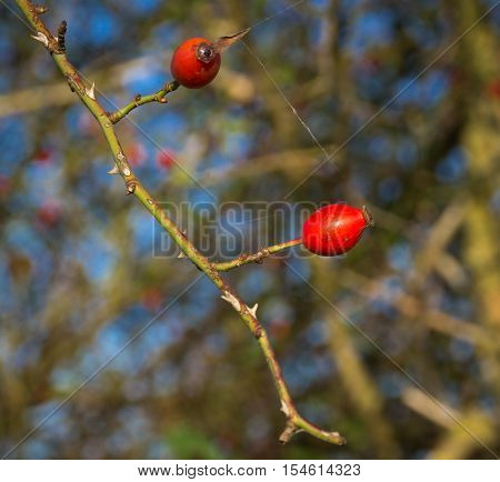 Two red rosehip berries on the branches