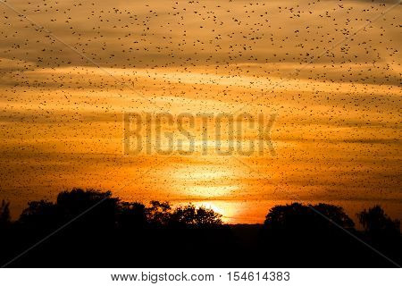 Large flock of starlings (Sturnus vulgaris) in front of sunset. Murmuration at dusk fills sky with huge numbers of birds at Ham Wall National Nature Reserve in Somerset UK