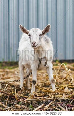 White Goat At The Village In A Cornfield, Goat On Autumn Grass, Goat Stands And Looks At The Camera