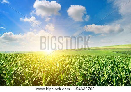 Green field with corn. Blue cloudy sky. Sunrise on the horizon.