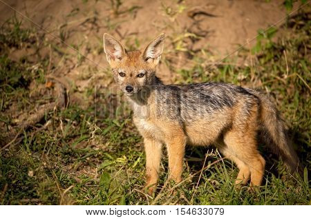 Baby black backed jackal pup near its den