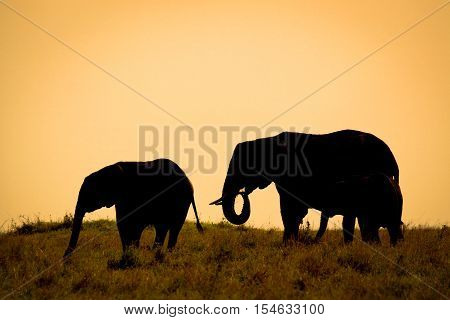 Silhouetted African elephants with orange sunset sky in Kenya
