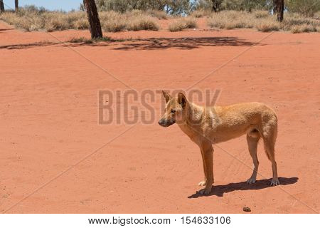 Healthy dingo in the Red Centre, outback Australia